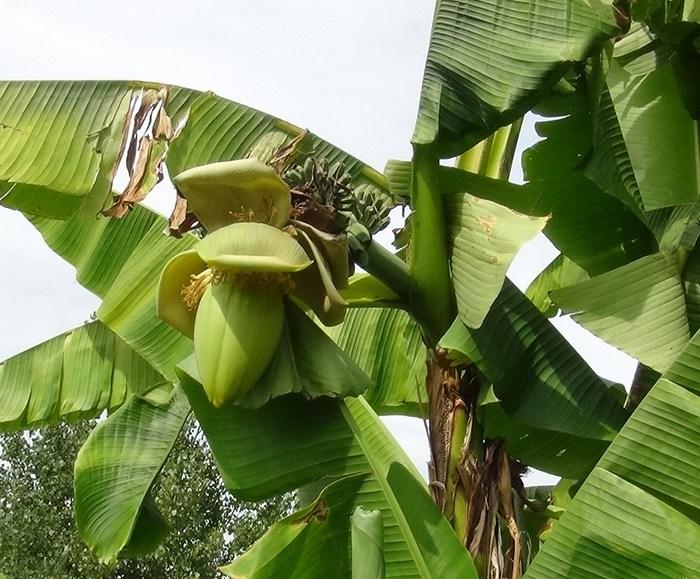 Mes bananiers Banane10