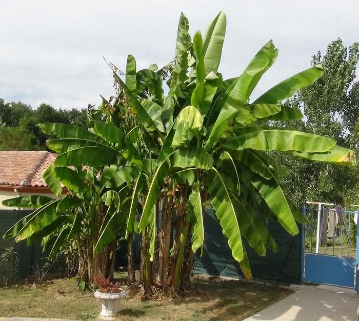 Mes bananiers Banani10