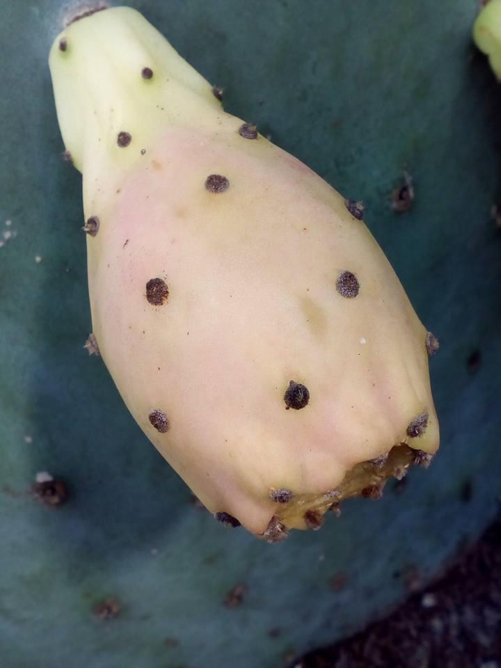 Opuntia Indica bientot des fruits! :) - Page 2 13887110
