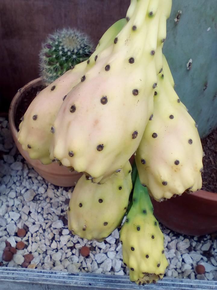 Opuntia Indica bientot des fruits! :) - Page 2 13906710