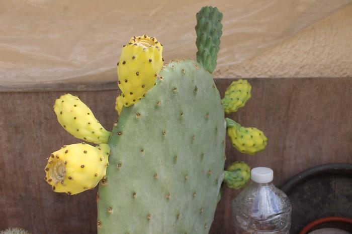 Opuntia Indica bientot des fruits! :) 17_jui14