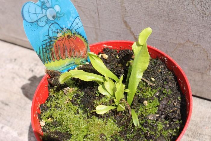 Reprise plante carnivore 17_jui16