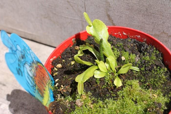 Reprise plante carnivore 17_jui17