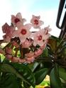 Hoyablüten 2012 - Seite 4 Dsc01110