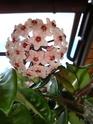 Hoyablüten 2012 - Seite 4 Dsc01111