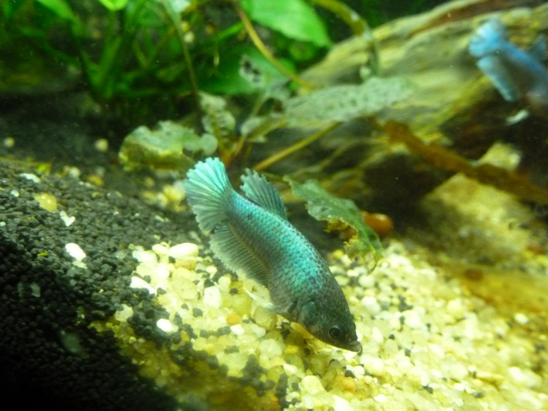 Mâle Copper SD VL x Femelle Bleue electrique SD  Annae_11