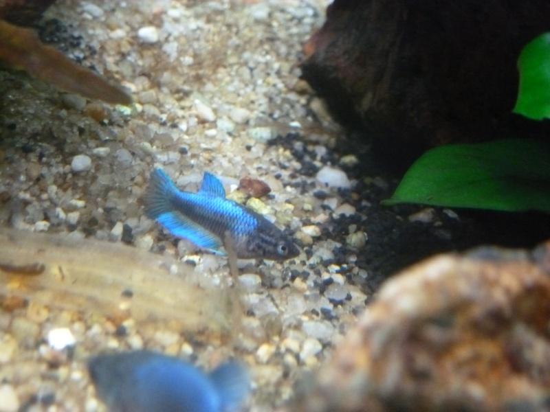 Mâle Copper SD VL x Femelle Bleue electrique SD  Annae_12