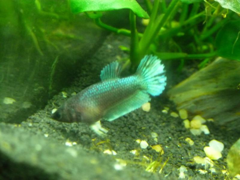 Mâle Copper SD VL x Femelle Bleue electrique SD  Annae_13