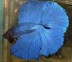 Mâle Copper SD VL x Femelle Bleue electrique SD  - Page 2 Images10