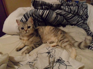 GAZOUILLE - 1 an - Femelle tricolore tigrée (gris clair, gris foncé, beige) semi angora croisée persan Sam_0015