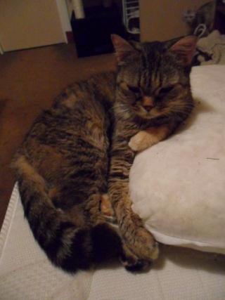CANNELLE - 7 ans - Femelle tigrée marron semi angora croisée persan Sam_0016