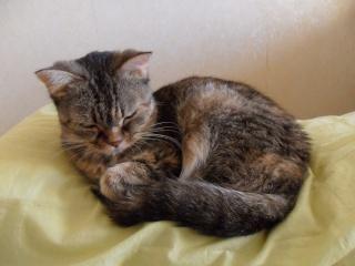 CANNELLE - 7 ans - Femelle tigrée marron semi angora croisée persan Sam_0017