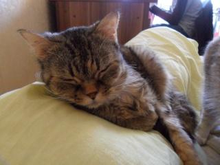 CANNELLE - 7 ans - Femelle tigrée marron semi angora croisée persan Sam_0111