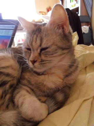 GAZOUILLE - 1 an - Femelle tricolore tigrée (gris clair, gris foncé, beige) semi angora croisée persan Sam_0114