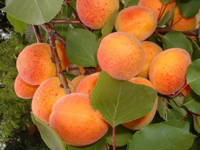Fleurs,....fruit,.....tout ce qui se mange,...se boit....ou qui vient de la nature.......... - Page 20 17688810