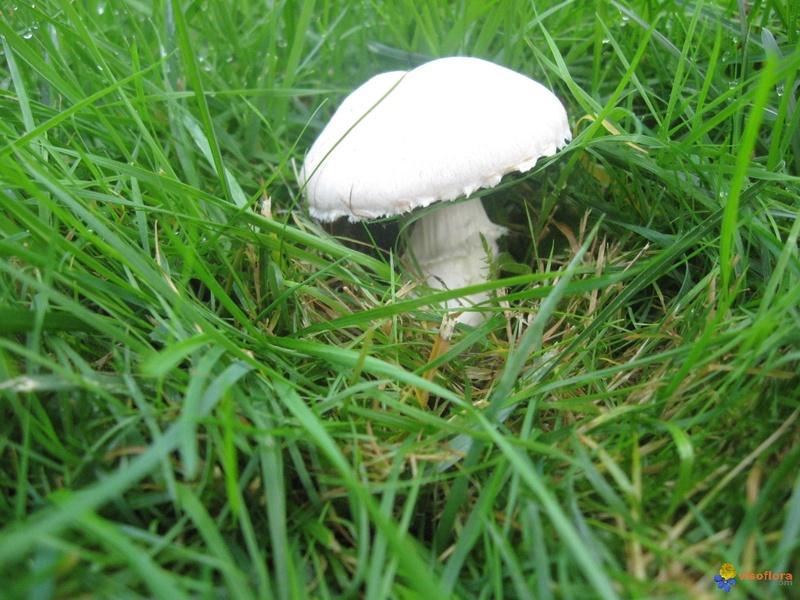 les champignons par ordre alphabétique. - Page 9 Agaric10