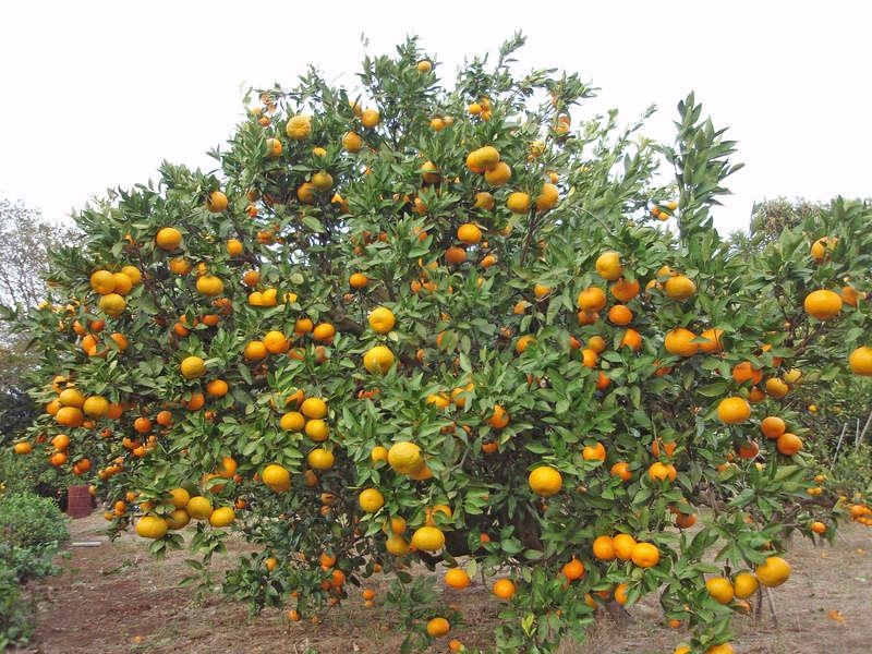 FLEURS OU ARBRES par ordre ALPHABETIQUE - Page 27 Citrus10