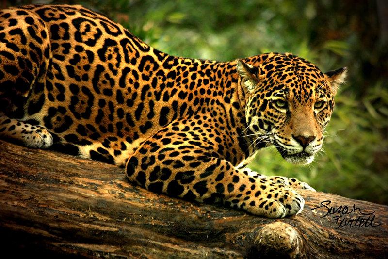 Les animaux - Page 5 Jaguar10