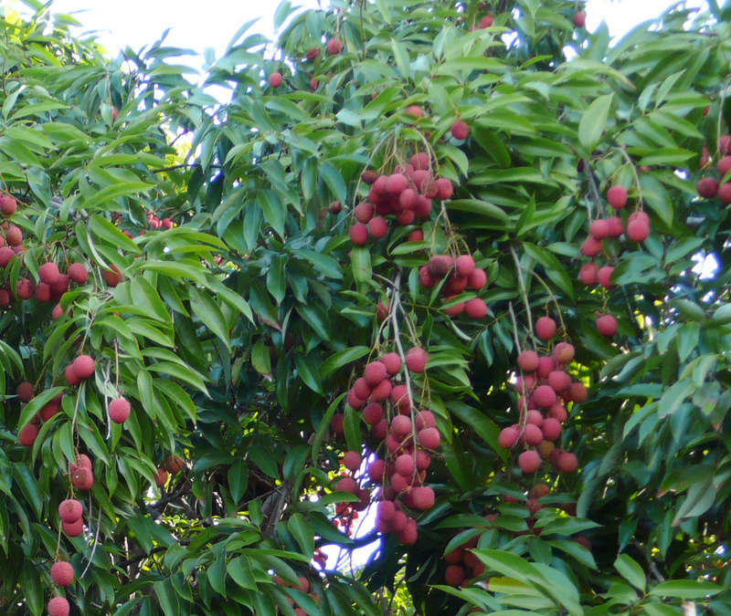 Fleurs,....fruit,.....tout ce qui se mange,...se boit....ou qui vient de la nature.......... - Page 20 Litchi10