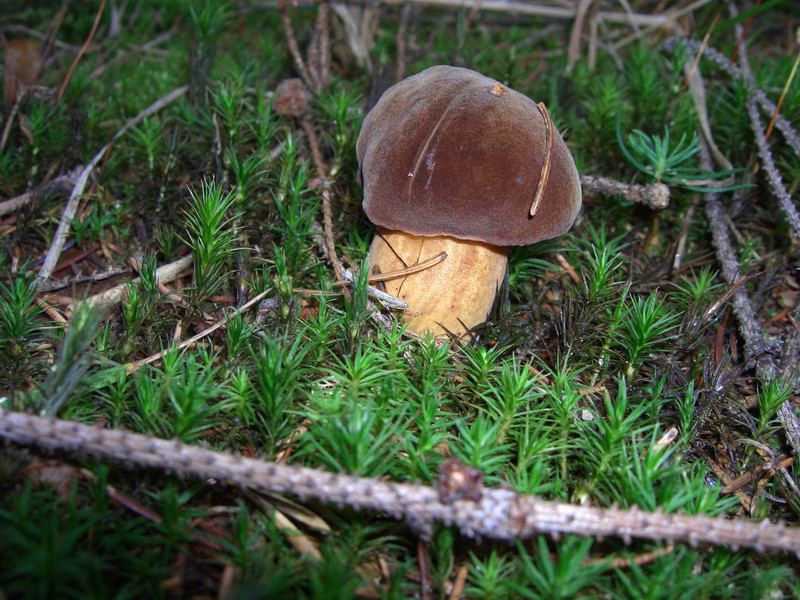 les champignons par ordre alphabétique. - Page 9 Xeroco10