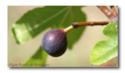 Figue - Ficus Carica Figue-10