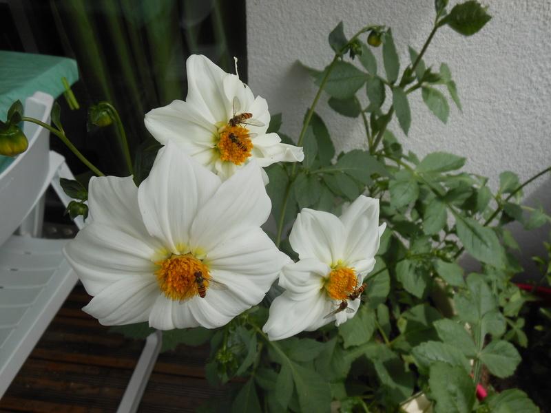 Floraisons du mois de juillet - Page 12 Dahlia10