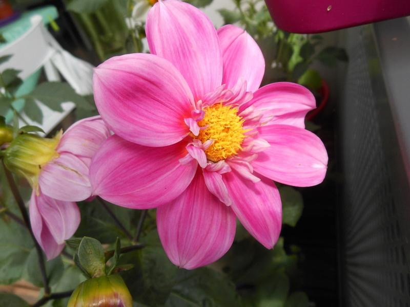 Floraisons du mois de juillet - Page 12 Dahlia11