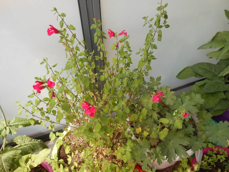 Floraisons du mois de juillet - Page 12 Salvia10