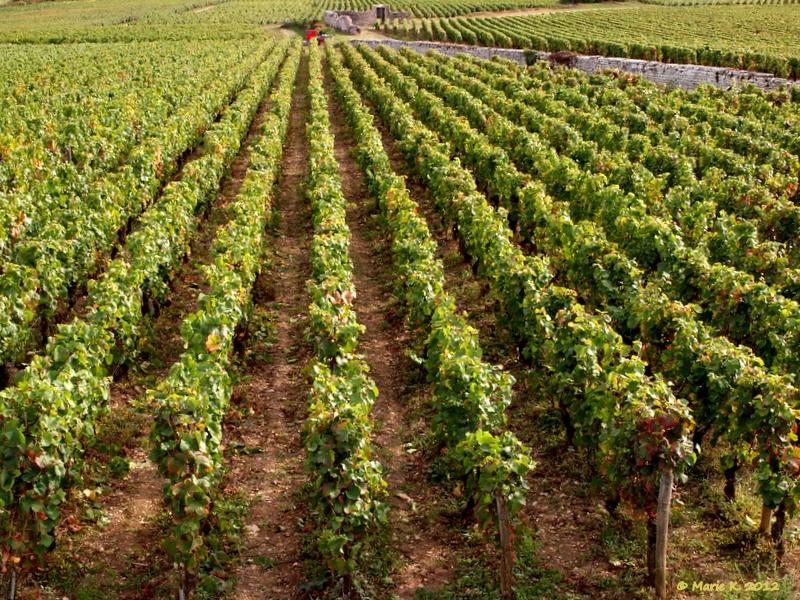Vendanges en Bourgogne P9202913