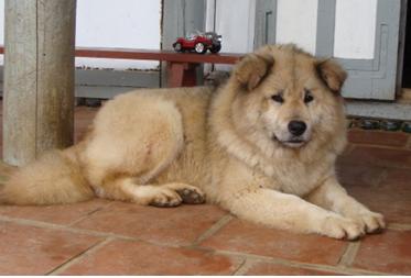 Memento sur l'utilisation du chien de guerre en Indochine Chy_bc10