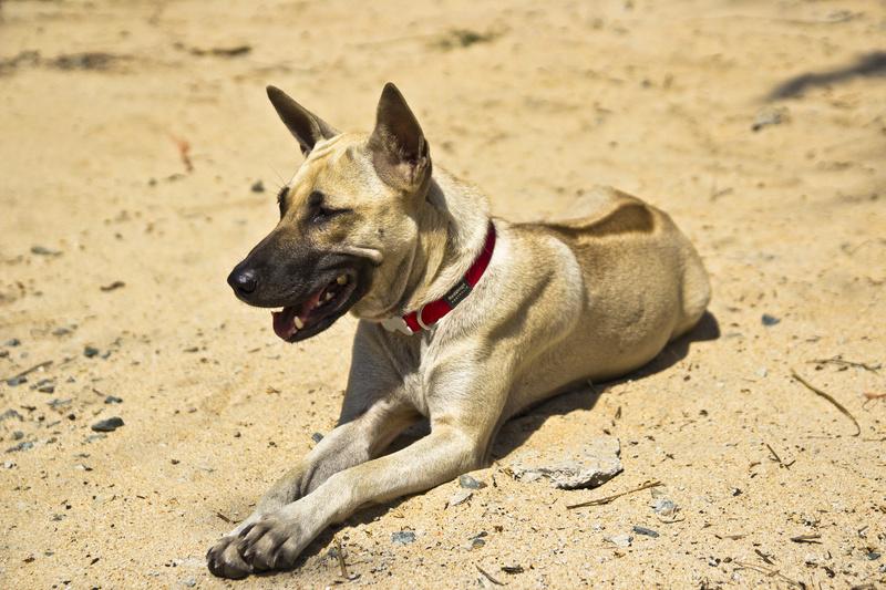 Memento sur l'utilisation du chien de guerre en Indochine Phu_qu10