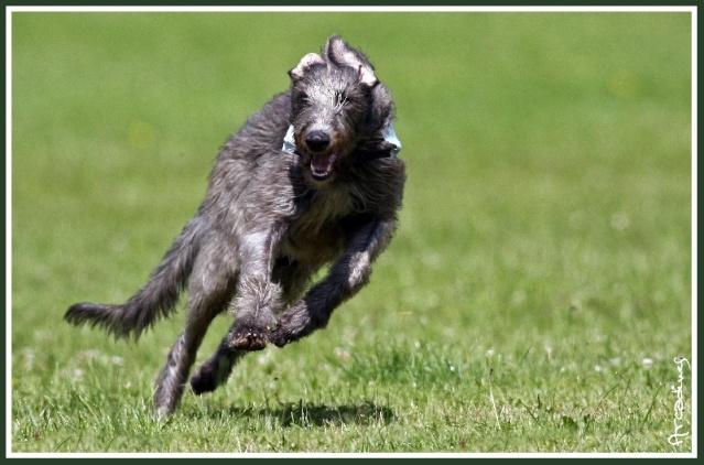 Levrier ecossais (Deerhound) Chiens10