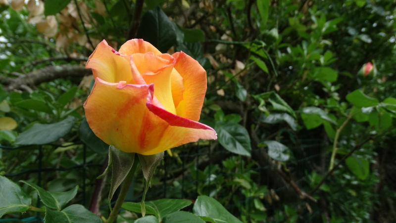 Les fleurs de nos jardins Dsc03710