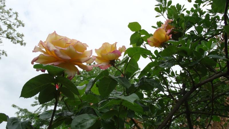 Les fleurs de nos jardins Dsc03811
