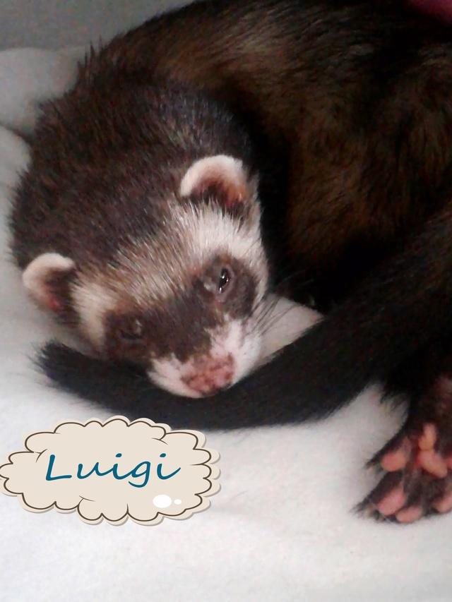 Luigi, mâle putoisé 20160714