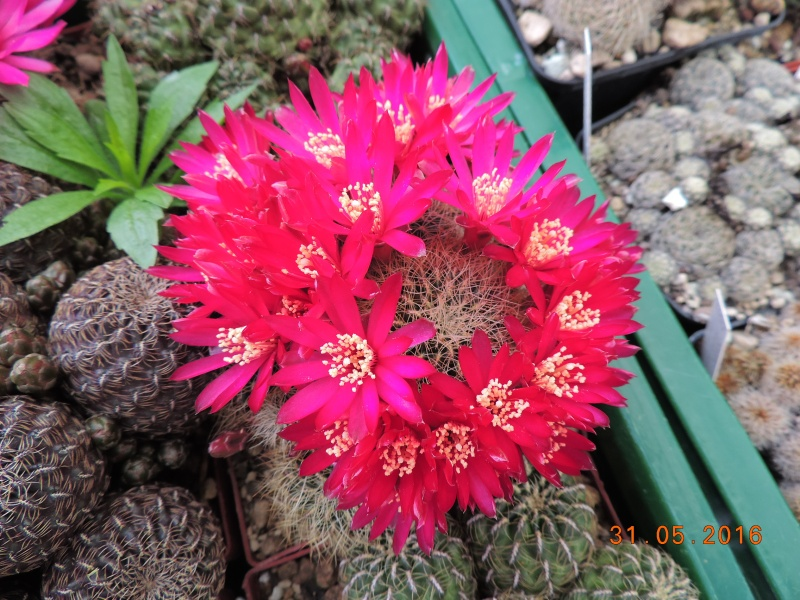 Cacti and Sukkulent in Köln, every day new flowers in the greenhouse Part 145 Bild_101
