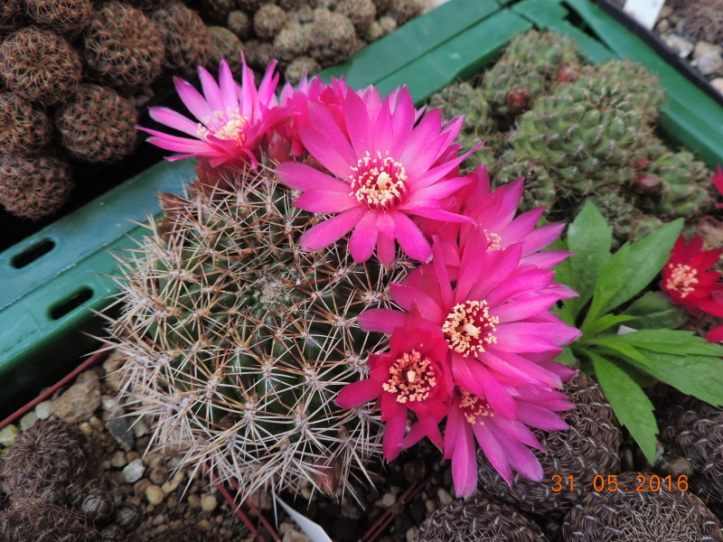 Cacti and Sukkulent in Köln, every day new flowers in the greenhouse Part 145 Bild_102