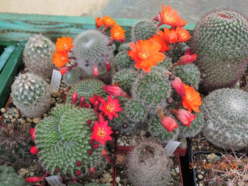 Cacti and Sukkulent in Köln, every day new flowers in the greenhouse Part 145 Bild_103
