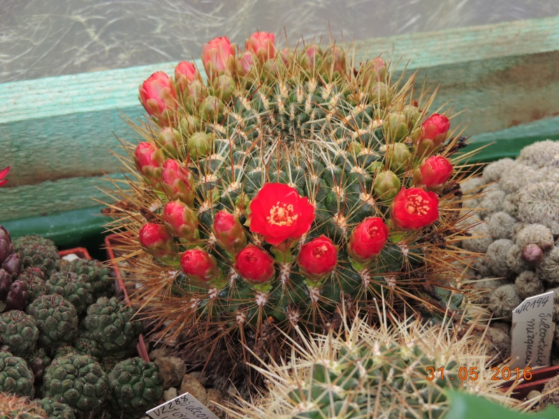 Cacti and Sukkulent in Köln, every day new flowers in the greenhouse Part 145 Bild_106