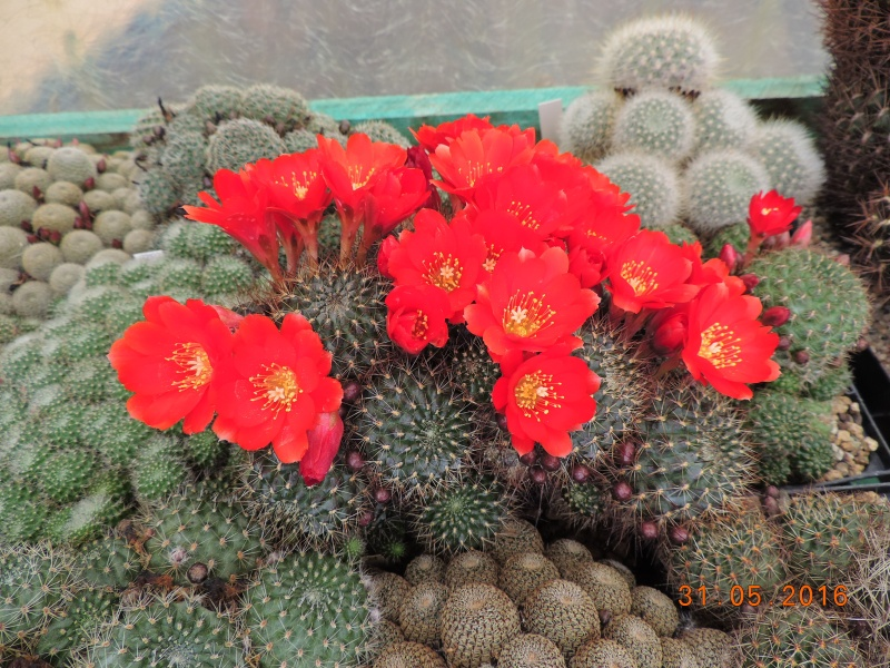 Cacti and Sukkulent in Köln, every day new flowers in the greenhouse Part 145 Bild_108