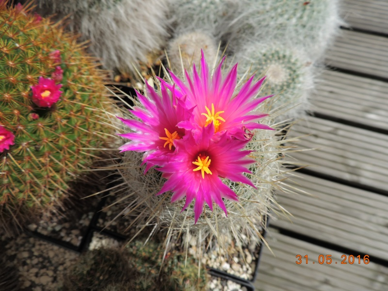 Cacti and Sukkulent in Köln, every day new flowers in the greenhouse Part 145 Bild_124