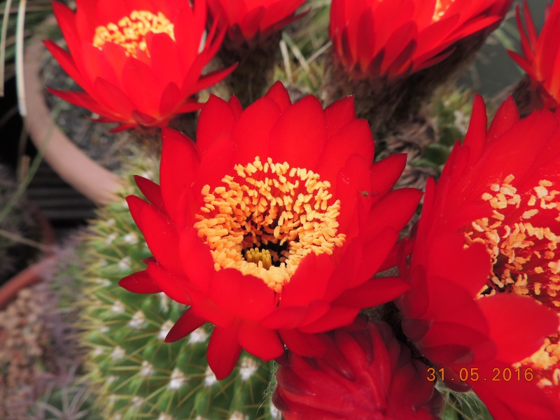 Cacti and Sukkulent in Köln, every day new flowers in the greenhouse Part 145 Bild_133