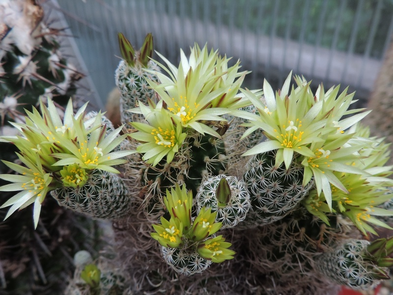 Cacti and Sukkulent in Köln, every day new flowers in the greenhouse Part 145 Bild_139