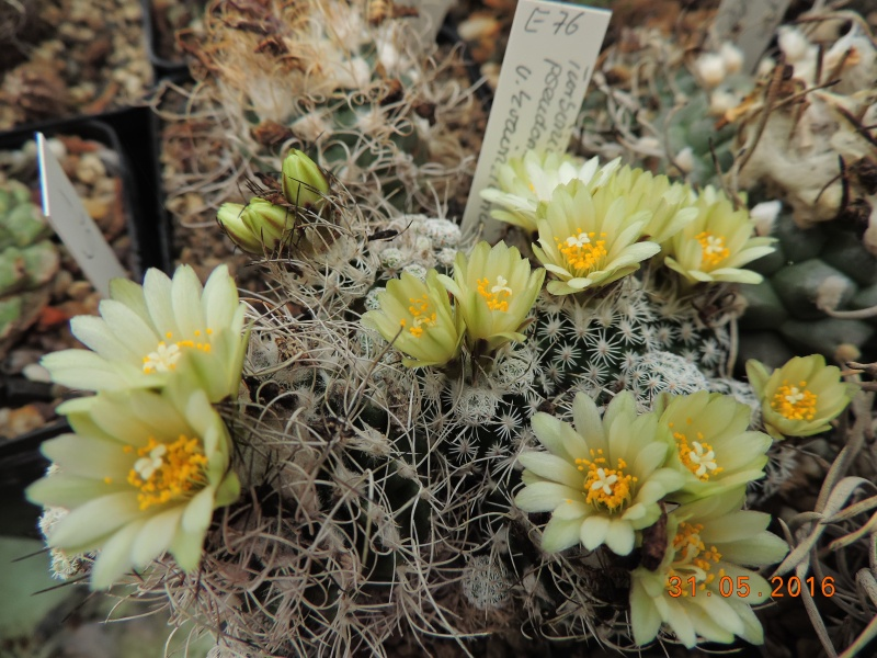 Cacti and Sukkulent in Köln, every day new flowers in the greenhouse Part 145 Bild_146