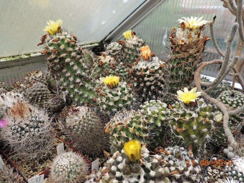 Cacti and Sukkulent in Köln, every day new flowers in the greenhouse Part 145 Bild_148
