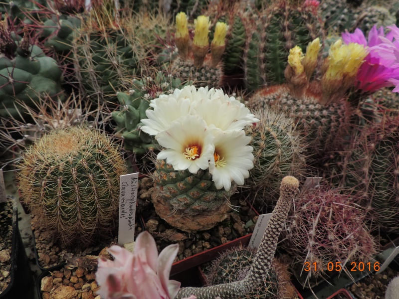 Cacti and Sukkulent in Köln, every day new flowers in the greenhouse Part 145 Bild_150