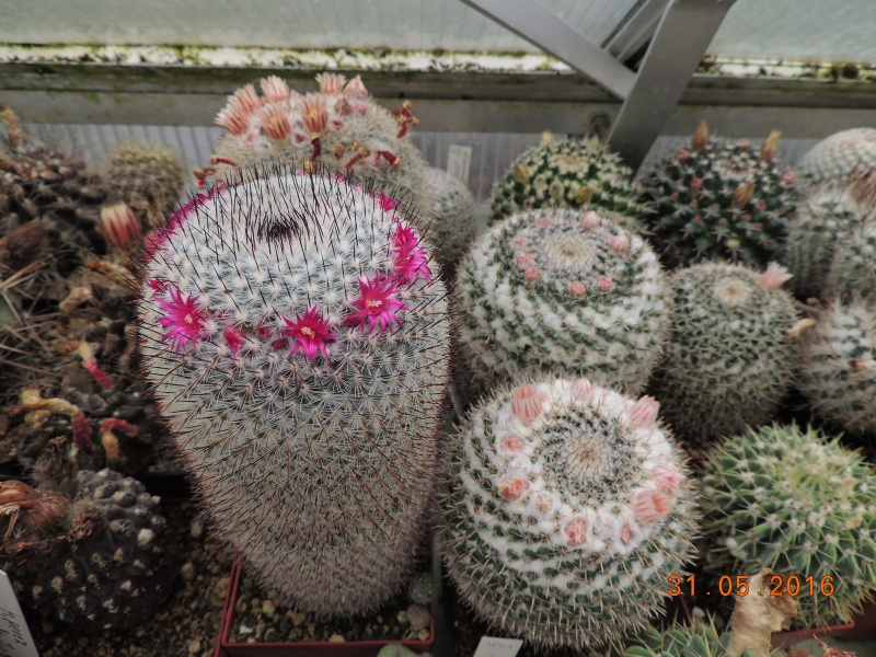 Cacti and Sukkulent in Köln, every day new flowers in the greenhouse Part 145 Bild_152