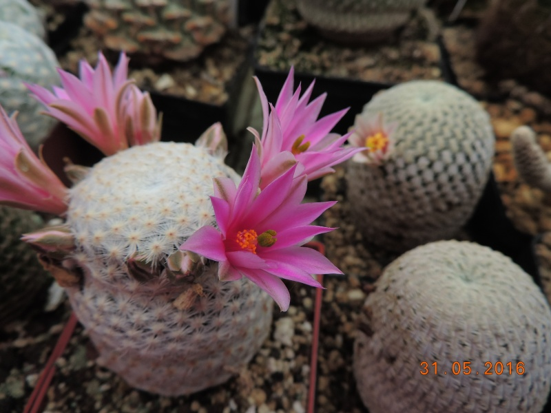 Cacti and Sukkulent in Köln, every day new flowers in the greenhouse Part 145 Bild_153