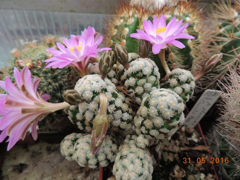 Cacti and Sukkulent in Köln, every day new flowers in the greenhouse Part 145 Bild_155