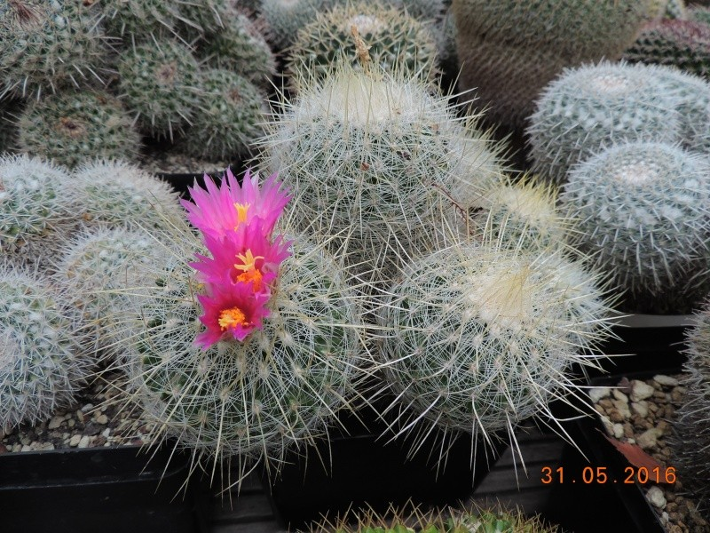 Cacti and Sukkulent in Köln, every day new flowers in the greenhouse Part 145 Bild_157